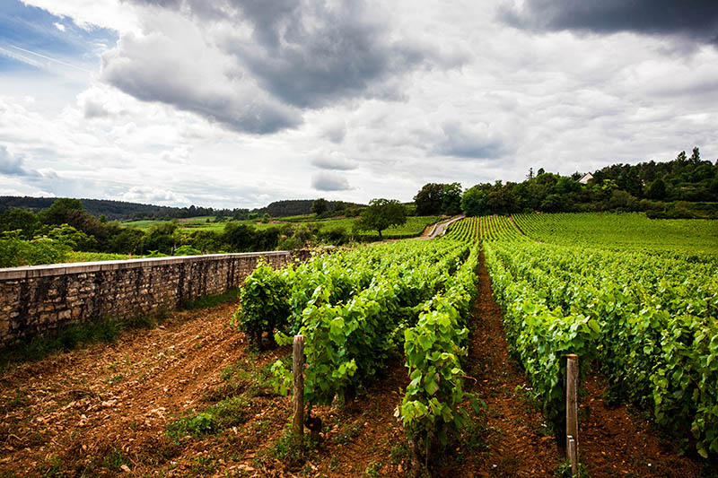 Photo of a vineyard in the outskirts of Beaune, in the region of Bourgogne, France
