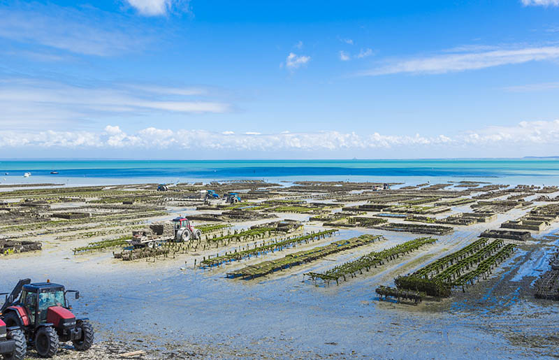 Growing oysters at low tide at the port of Cancale, France
