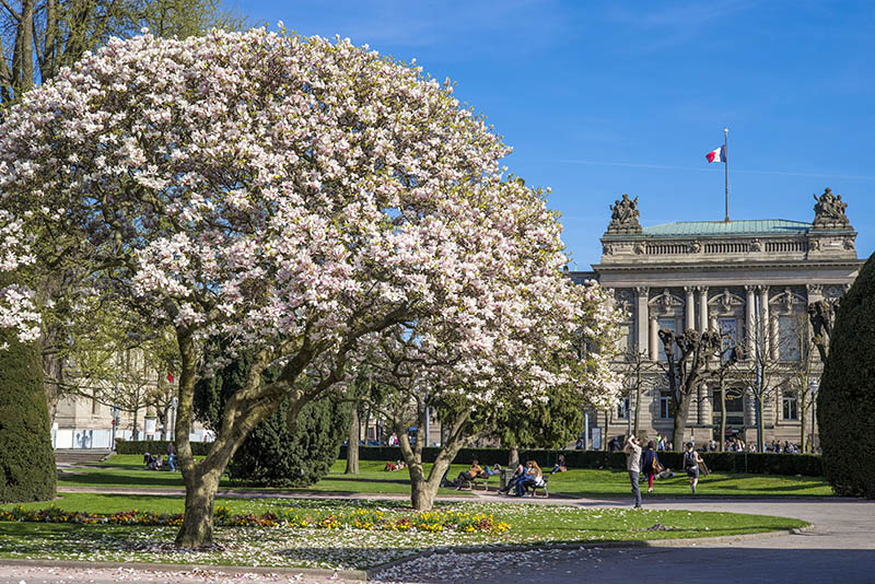Blooming magnolia trees and National Theatre Place de la République square Strasbourg Alsace France.