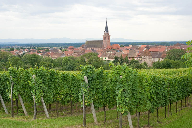 Bergheim (Bas-Rhin, Alsace, France) Panoramic view with vineyards at summer