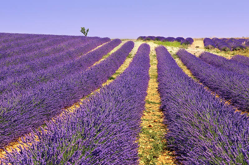 France, landscape of Provence: lavender fields