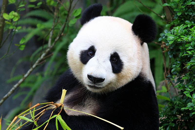 Panda Bear eating bamboo shoot; Shutterstock ID 182695118; PO: michelin