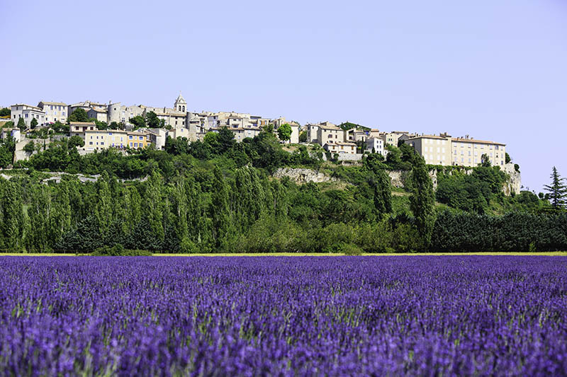 fields of blooming lavender flowers with a small village - Provence, France