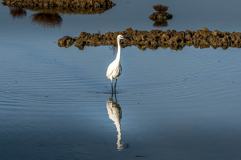 white egret strolls through the swamp in the ornithological reserve near Bordeaux named Reserve Ornitologique du Teich.