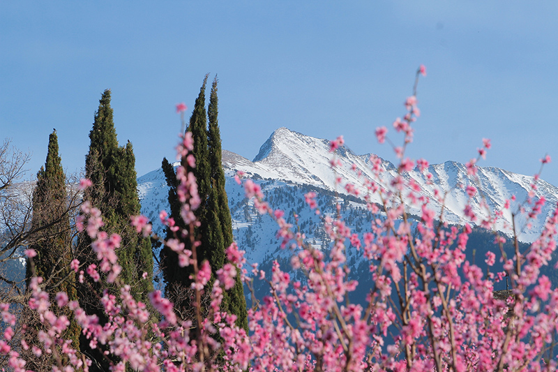 Mountains with snow and cherries flowers in spring