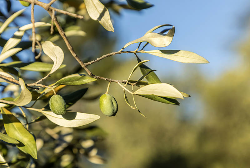 detail of  olive fruit at an old olive tree